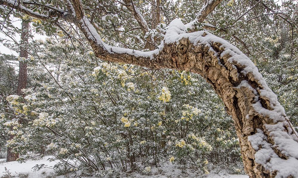 CONTIS - Chêne liège et mimosas sous la neige